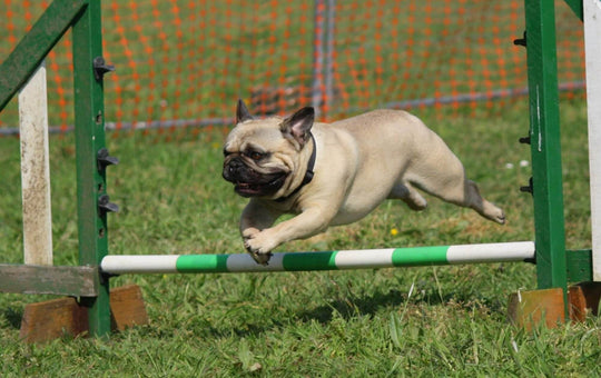Dog Agility Training: Where to Begin