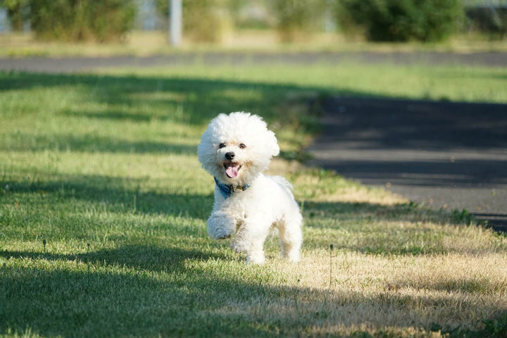 Hypoallergenic Dogs: A Guide to the Best Breeds for Allergy Sufferers