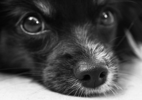 Dog Eye Boogers: The Causes and Treatment of Dog Eye Discharge