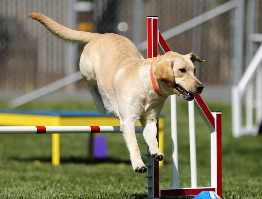 Yellow lab doing agility exercises
