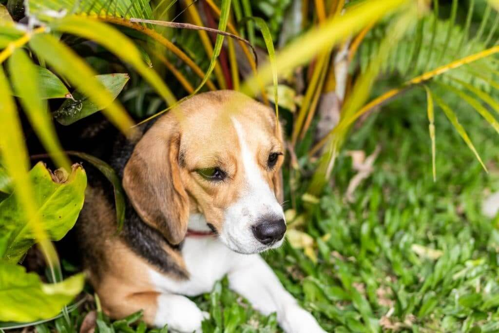 cute beagle in the grass