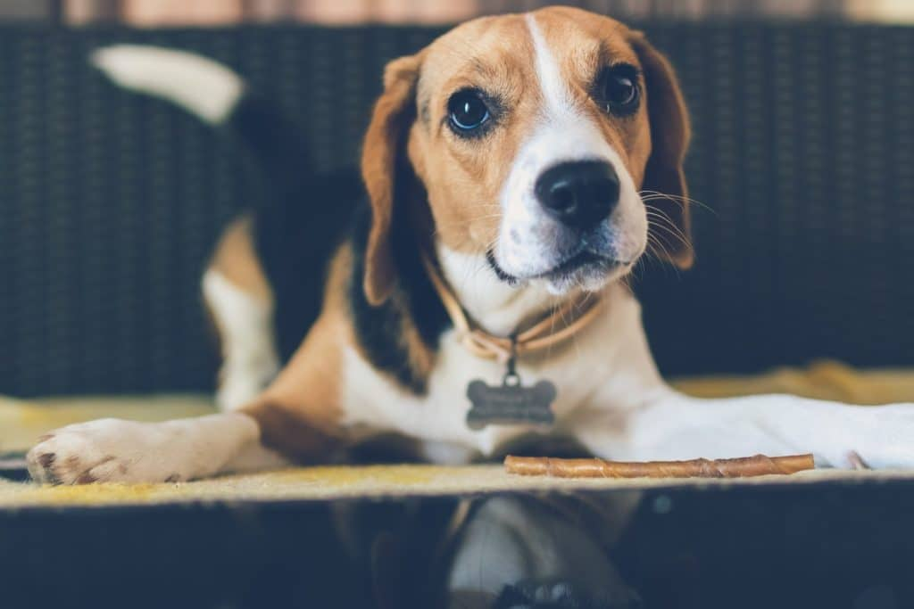 Beagle looking at camera