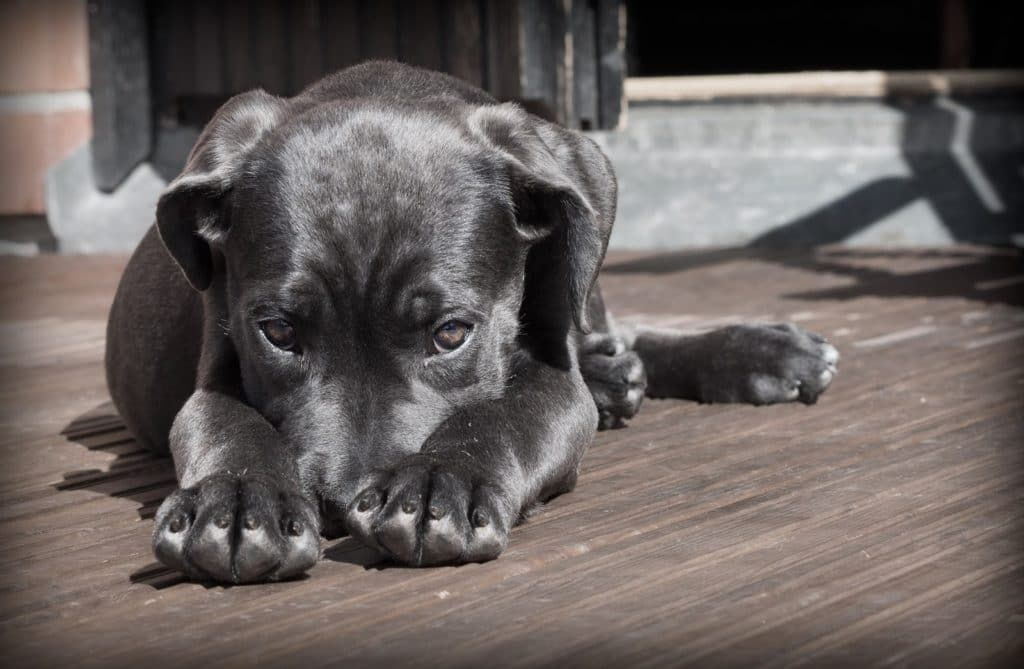 Can dogs have avocado? Grey dog lays on patio