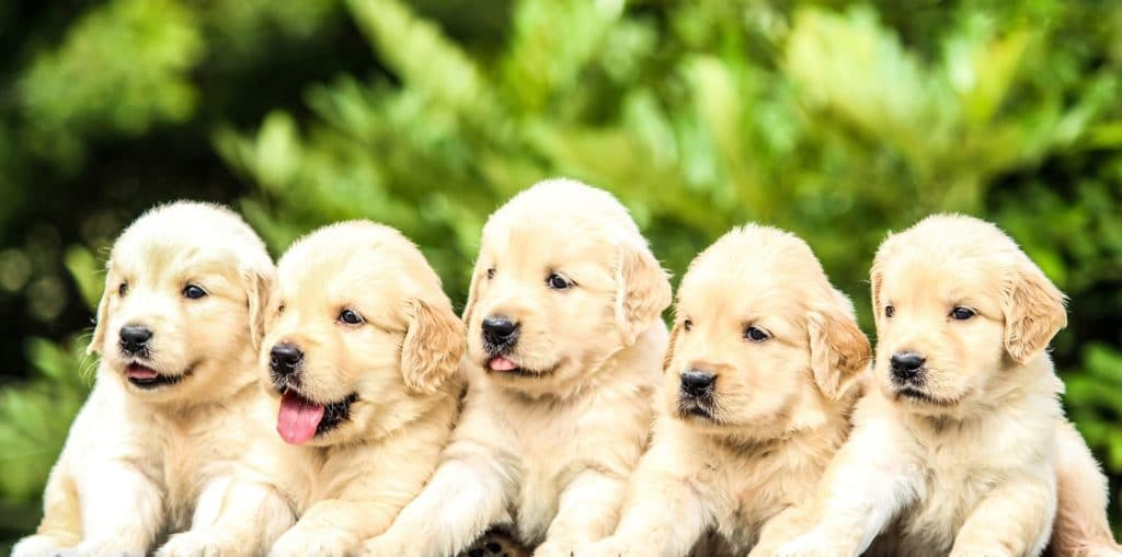 Five golden retriever puppies