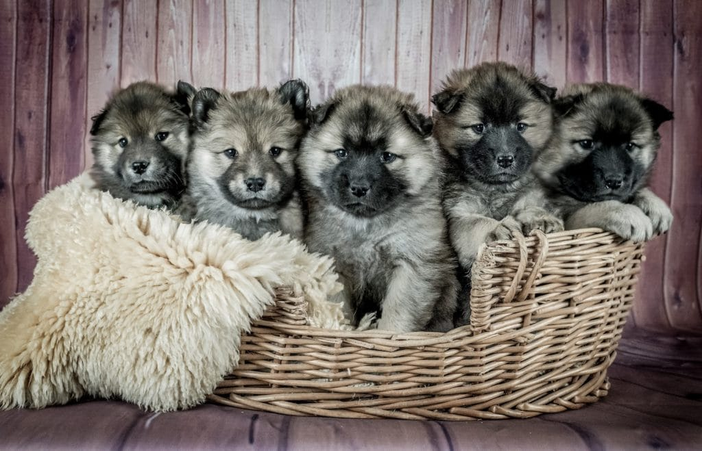 Five puppies in a basket