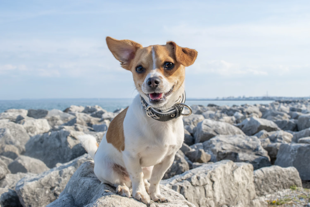 Small brown and white dog sitting on rocks