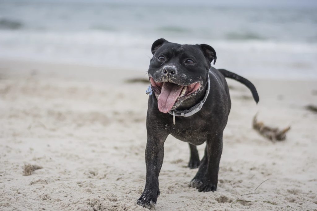 Black dog runs on beach