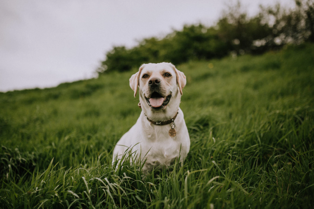 is coconut oil good for dogs? yellow lab sitting in field