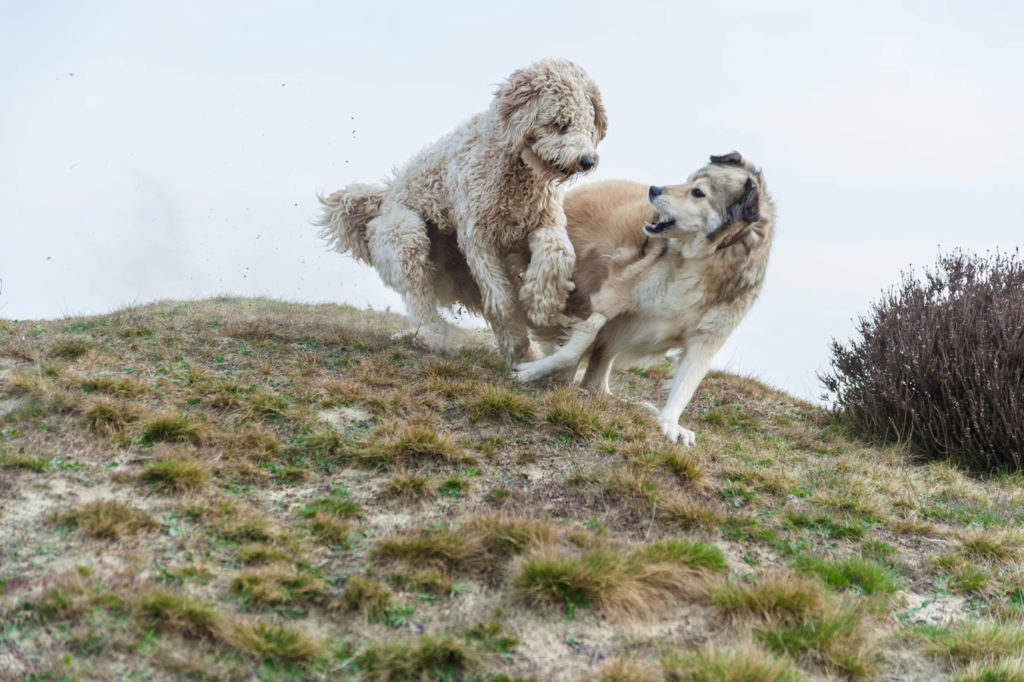two big dogs playing on a hill
