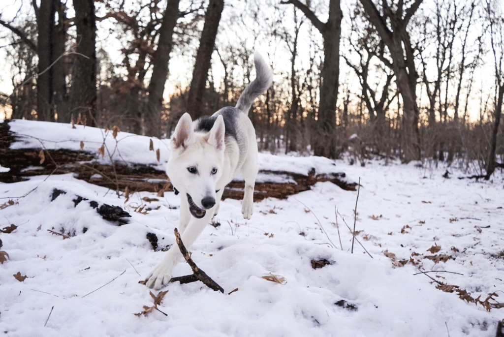 How to extend dog lifespan: White husky in snow