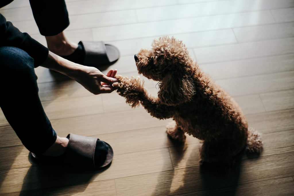 poodle shaking paws with parent