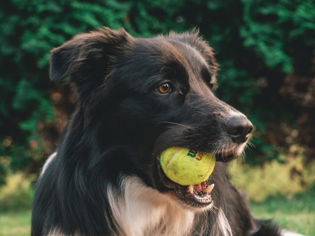 Black dog holds tennis ball in mouth
