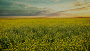 Image of sunset and beautiful sky over field of yellow mustard flowers