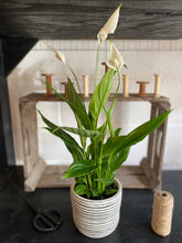 Load image into Gallery viewer, Peace Lilly / Stripy Pot