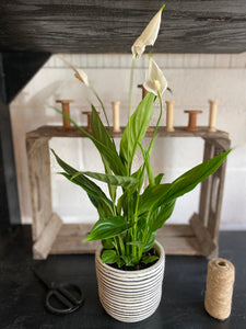 Peace Lilly / Stripy Pot
