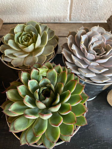 Zinc Potted Succulent Trio