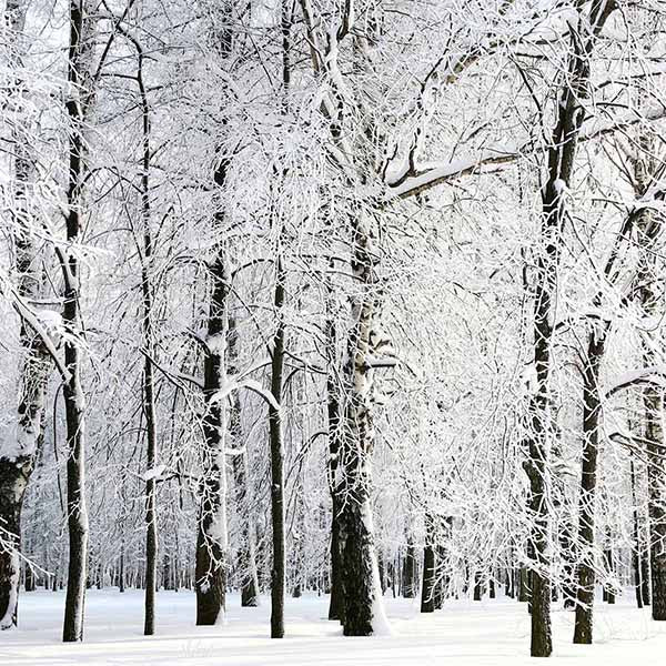 Fox Rolled Winter Snow Trees Vinyl Photos Backdrop