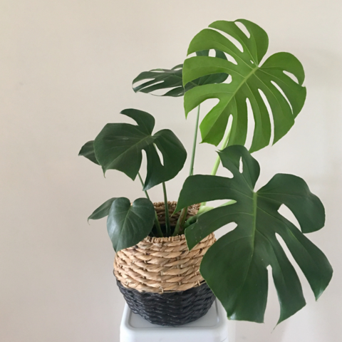 Monstera Deliciosa in Basket