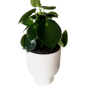 Pilea in General Eclectic Stockholm White Planter