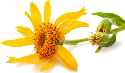 Arnica Montana Flower contains the powerful substance, helenalin, which reduces inflammation significantly.  When used in homeopathy, the flower is diluted in water and ingested to provide relief to those suffering from osteoarthritis and fibromyalgia