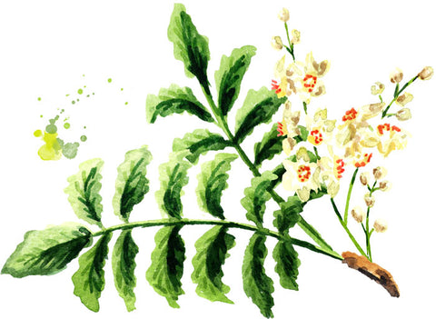 Boswellia Indian Frankincense Plant found in Mountain ice Sports Recovery Muscle Therapy Gel