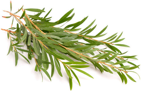 Tea Tree Oil Plant: Derived from the Australian plant, Melaleuca alternifolia, this powerful oil has been used for centuries as an antimicrobial, antifungal, antiviral, and antiseptic