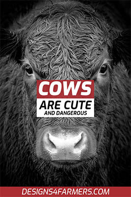 Cows are cute and dangerous