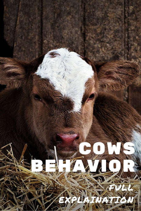 Why do cows behave the way they do?
