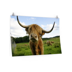 Highland Cattle Matte Posters | Cow Loco