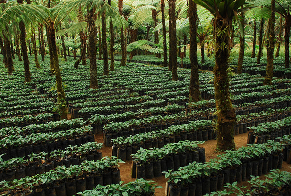 Rainforest Alliance Certified coffee nursery in Guatemala. Photo: Courtesy of Rainforest Alliance