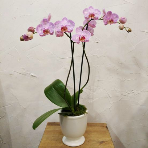 Double Stem Potted Orchid