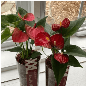 GIVOPOLY Floral Anthurium Plant