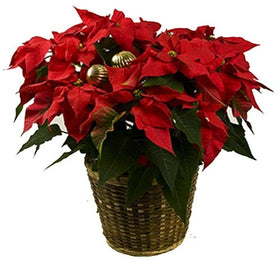 Floral - Traditional Poinsettia