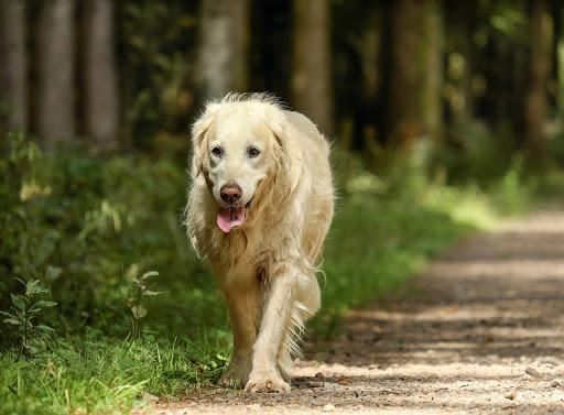 What Are the Signs of Hip Problems in Dogs?