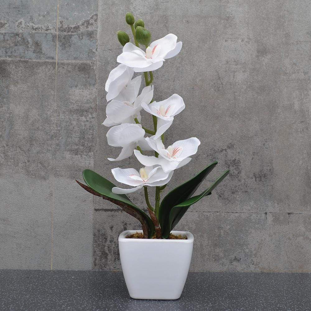 Orchid in Square Pot White 24cm 6PK