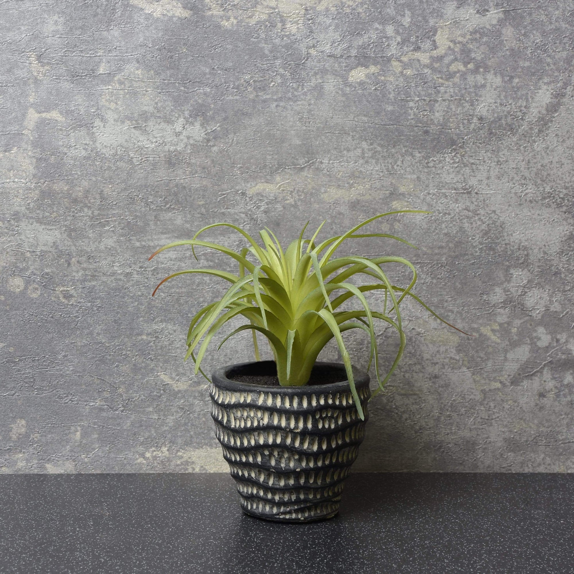 The Flower Patch Airplant Green  in Dimpled Pot 14cm 6PK