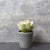 Candlelight Home Artificial Plants & Flowers The Flower Patch Round Leaf Succulent Green in Pot 15cm 6PK