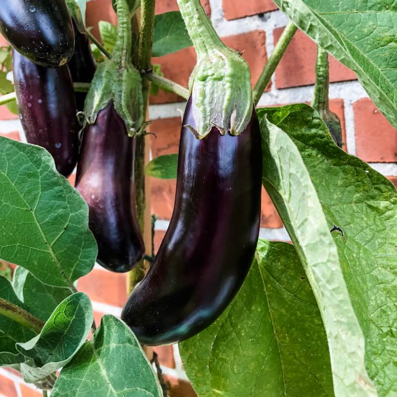 Aubergine 'Long Purple'