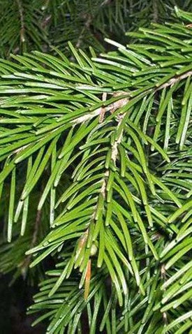 Fir Needle Oil