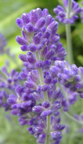 Lavender Oil (France)