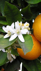Orange Blossom Fragrance Oil