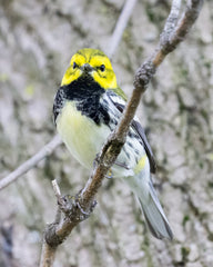 black-throated green warbler bird on branch at Magee Marsh Wildlife Area, Ohio