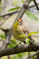 palm warbler bird on branch at Magee Marsh Wildlife Area, Ohio