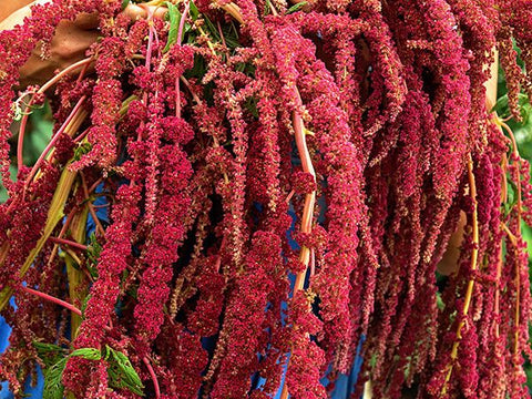 Amaranth, Love Lies Bleeding Red