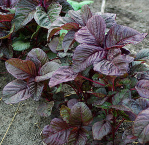 Amaranth, Red Spinach SM