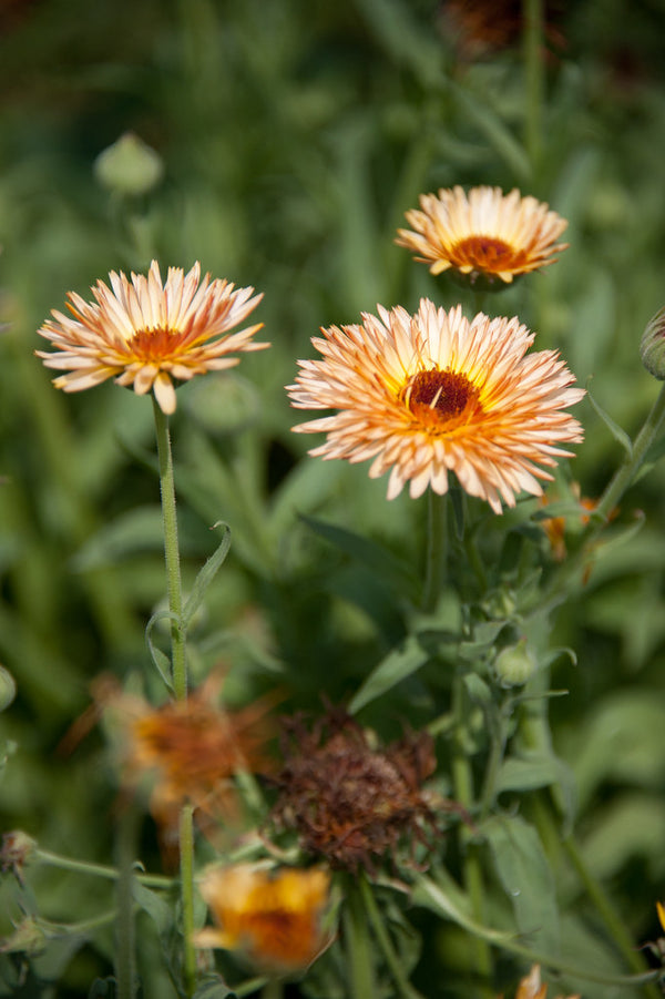 Calendula, Flashback Mix