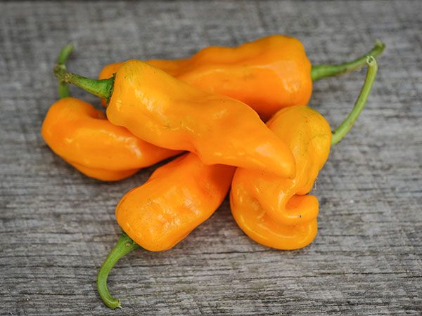 Pepper Chile, Datil