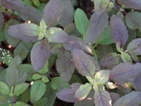 Basil, Thai Holy Kaprao