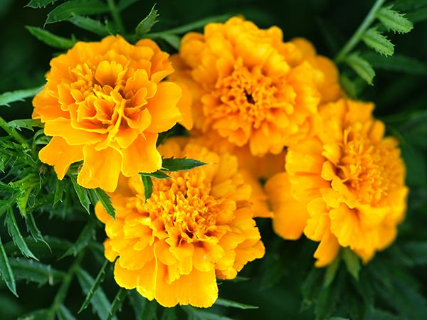 Marigold, Gypsy Sunshine French