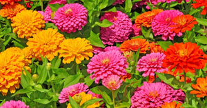 Zinnia, Benary's Giant Mix